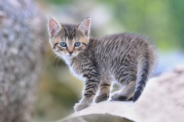 Association félins des cimes - chaton-errant.jpeg
