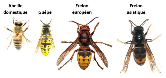 Frelons-abeille-guêpe-légende.png