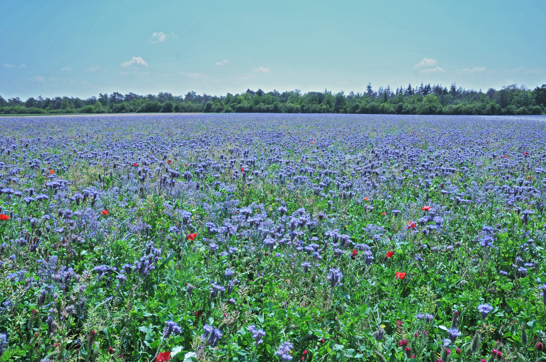 Plateau de BUNO - Champ de fleurs.jpg