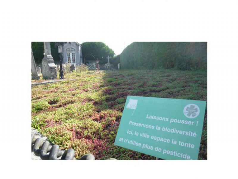 sedum exemple cimetière.JPG
