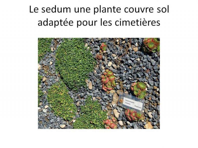 sedum plante.JPG