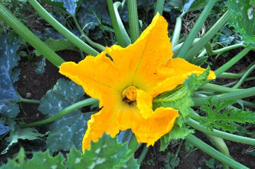 Fleur courge.jpg