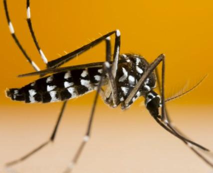 moustique tigre.jpg