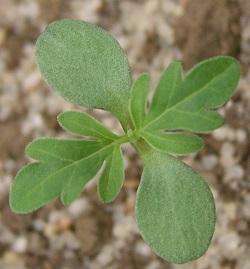 plantule2.jpg