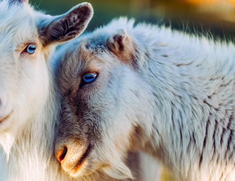 concours chèvres.png