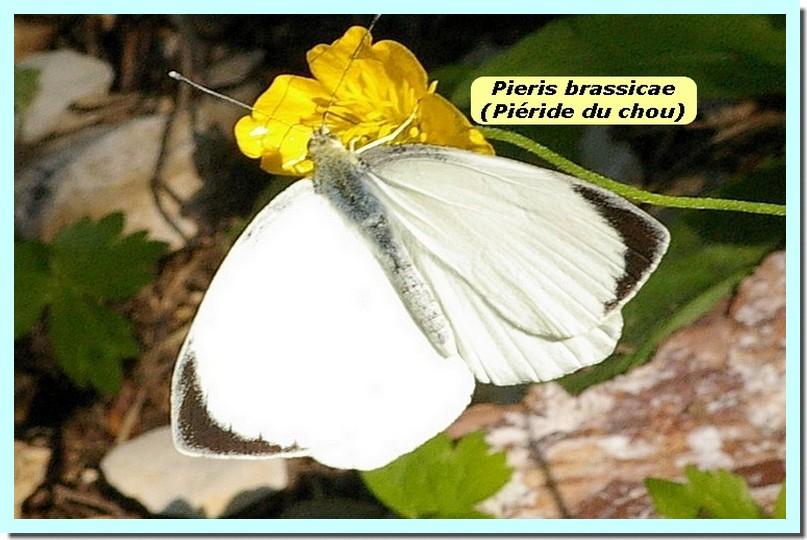 Pieris brassicae1 _Pieride du chou_.jpg