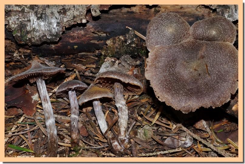 cortinarius flexipes var flexipes.jpg