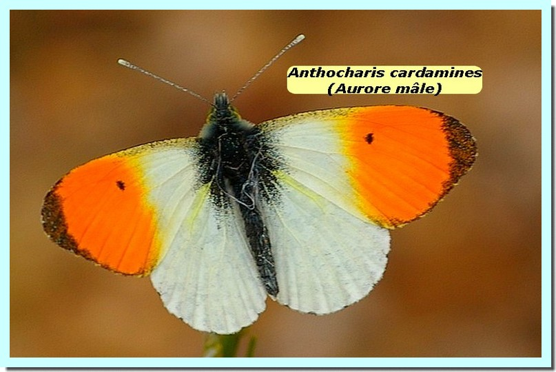 Anthocharis cardamines1c _Aurore_.jpg