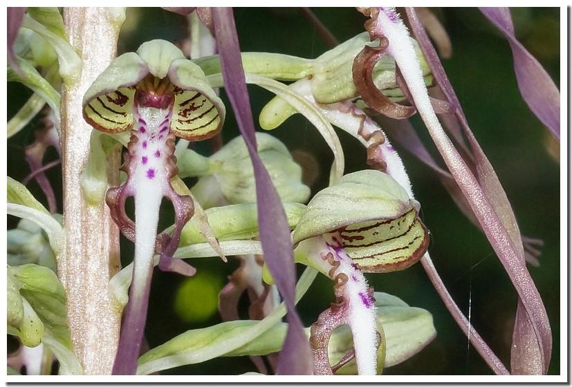 orchis bouc 18.jpg