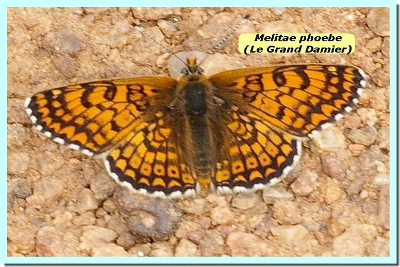 Melitae phoebe1a _Grand damier_.jpg