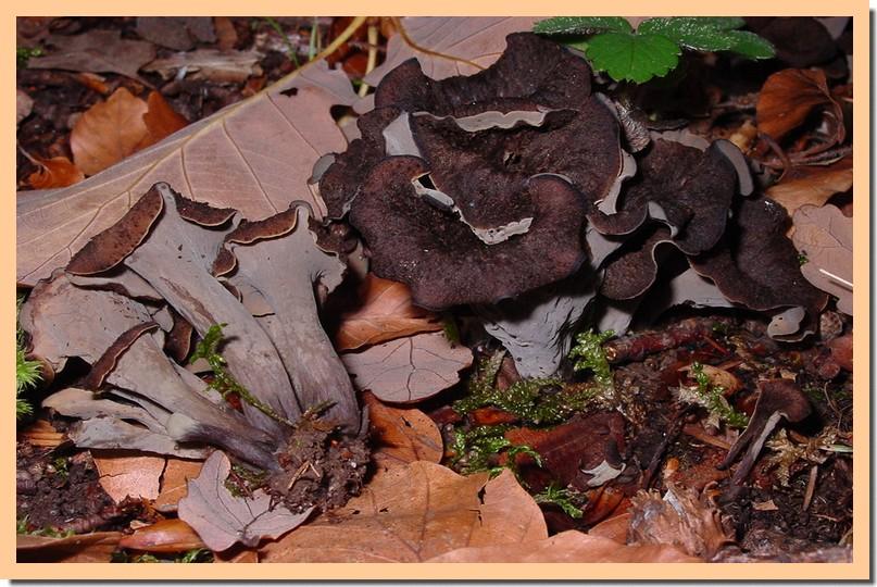 craterellus cornucopioides.jpg