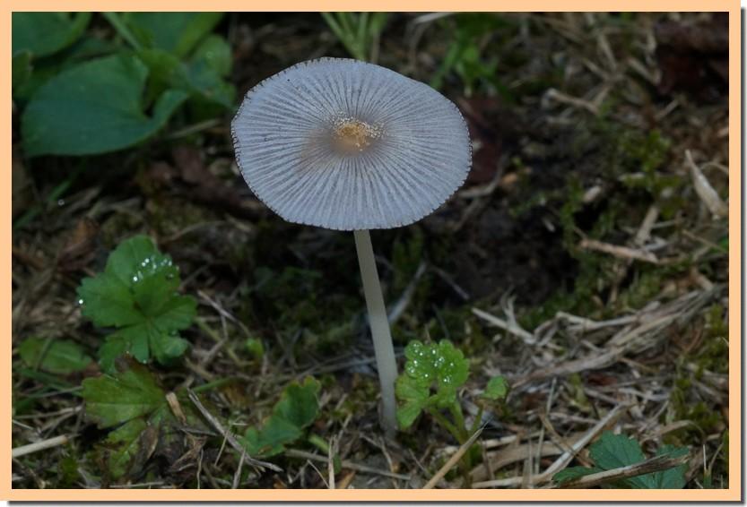parasola plicatilis 16.jpg