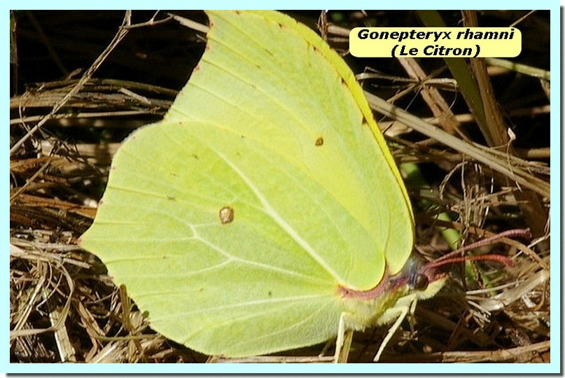 Gonepteryx rhamni1 _Citron_.jpg