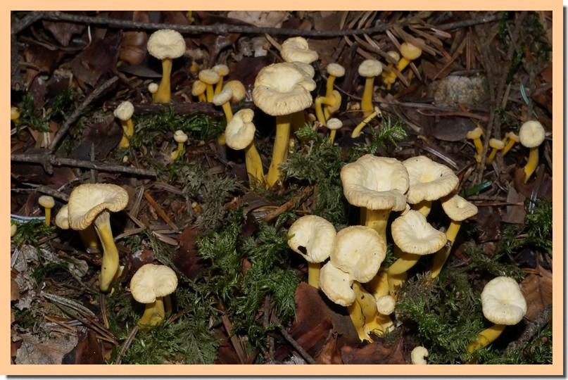 craterellus tubaeformis f pallidus.jpg
