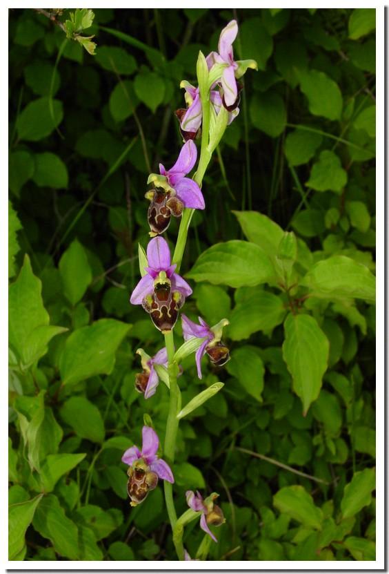 ophrys 043.jpg