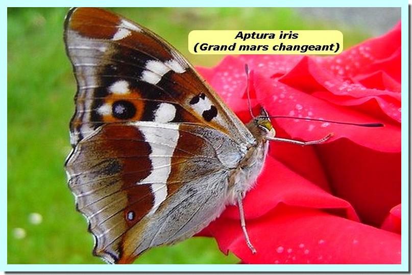 Apatura iris1 _Grand mars changeant_.jpg