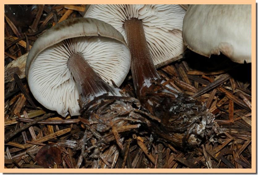collybia butyracea2.jpg