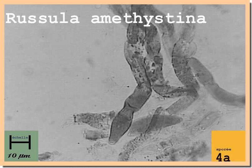 R amethystina micro.jpg