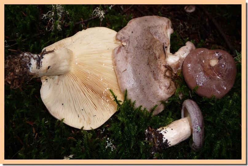 lactarius trvialis.jpg