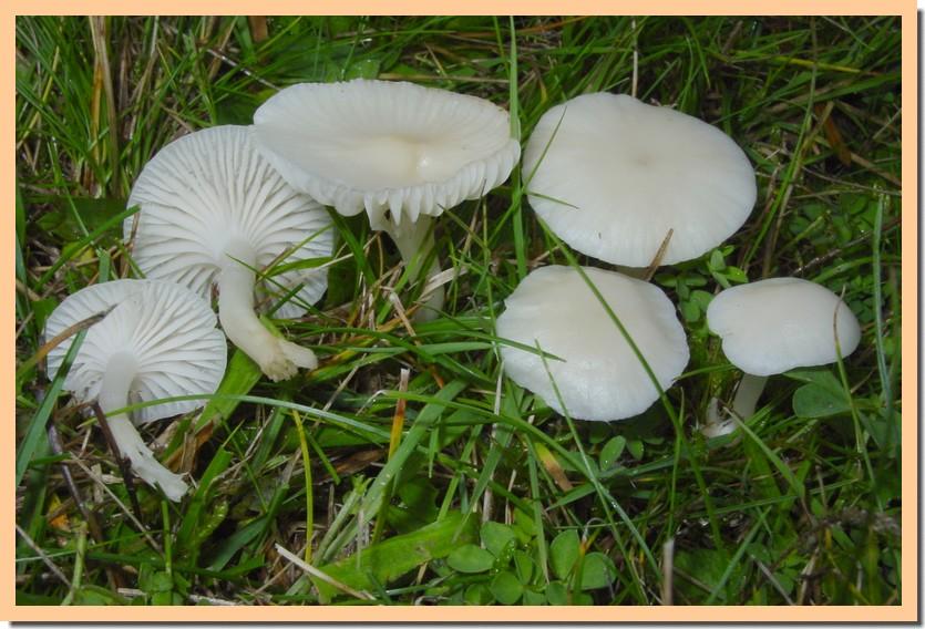 cuphophyllus virgineus 2.jpg