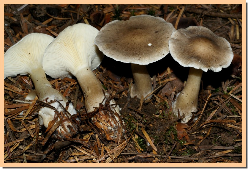 clitocybe clavipes.jpg
