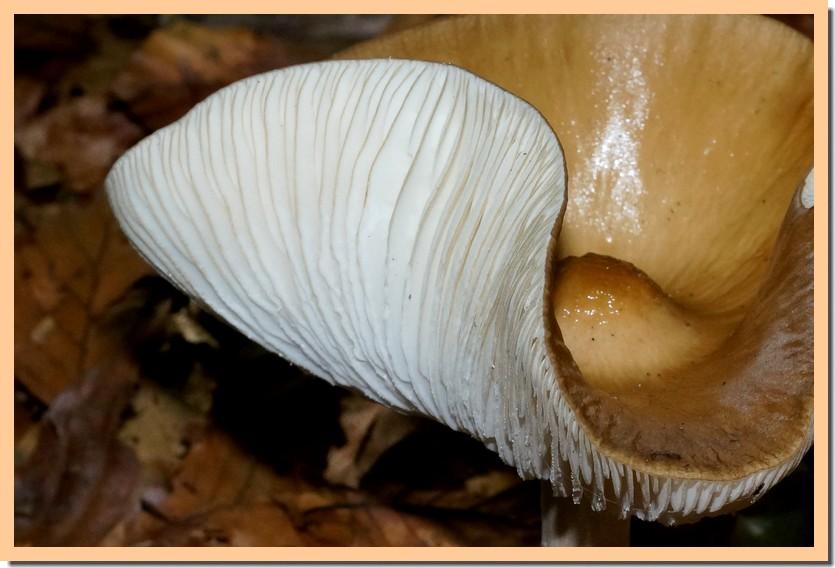 oudemansiella radicata 15.jpg