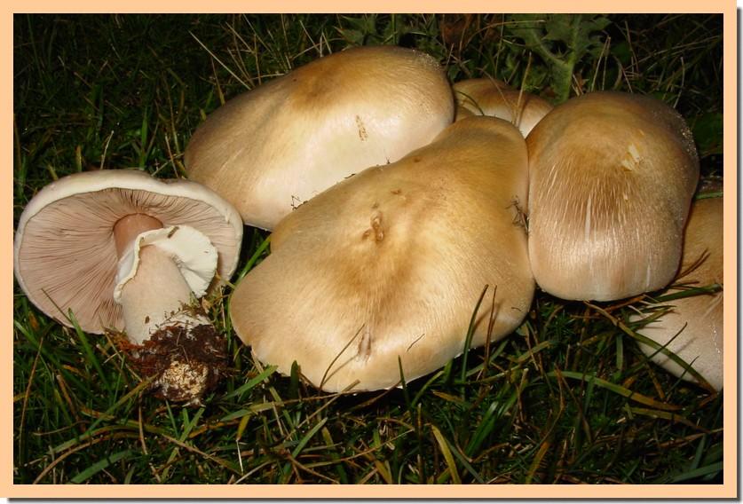 agaricus arvensis.jpg