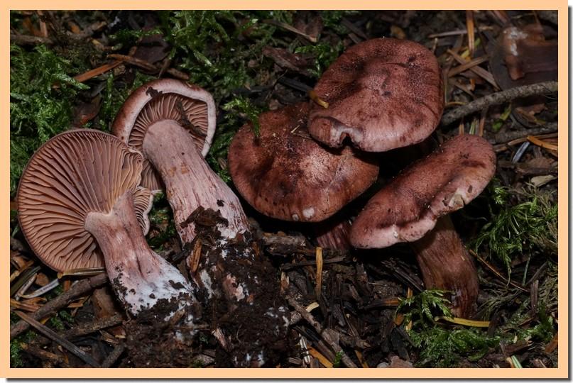 hygrophorus capreolarius 14.jpg