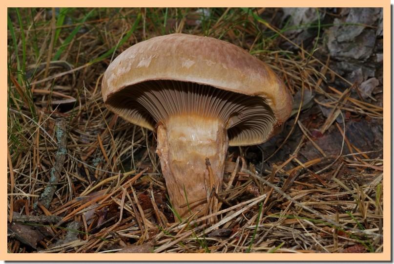 chroogomphus rutilus 15.jpg