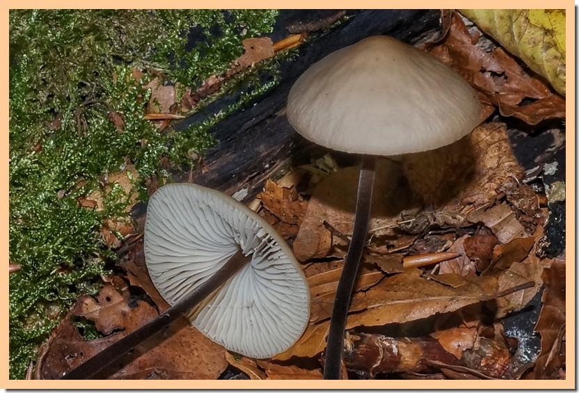 marasmius alliaceus 17.jpg