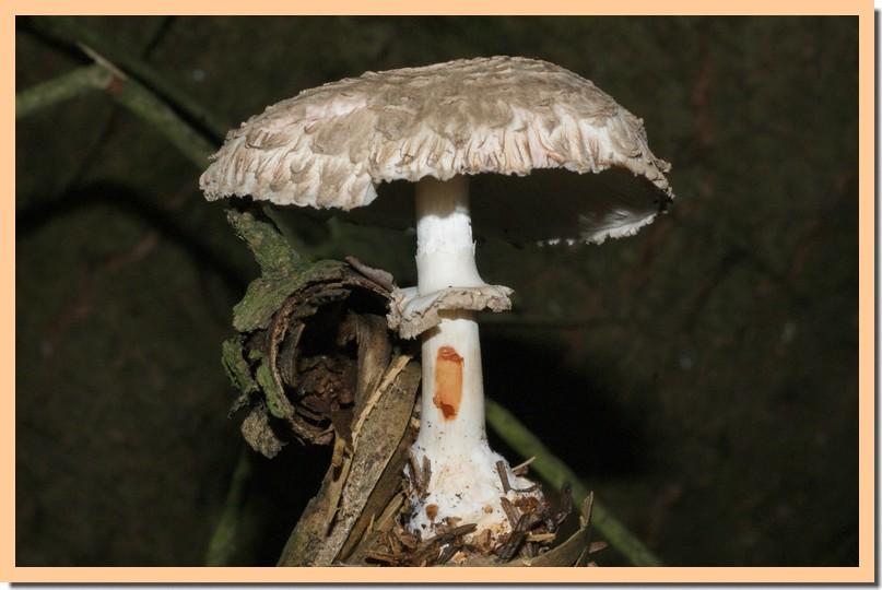 macrolepiota rhacodes3.jpg