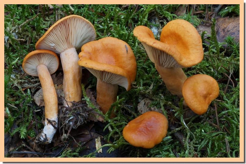 lactarius aurantiofulvus 16.jpg