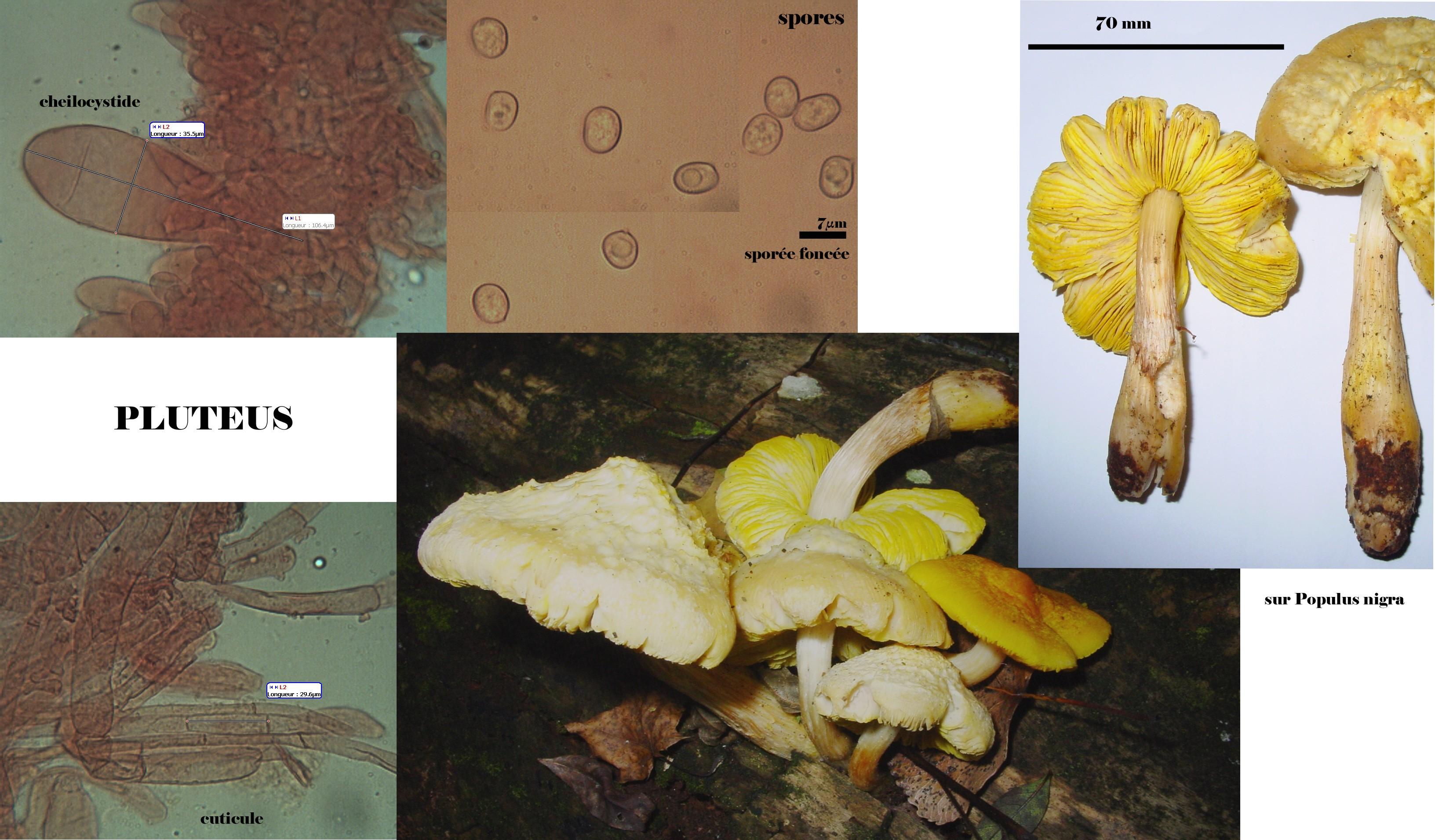 pluteus aurantiorugosus 11.jpg