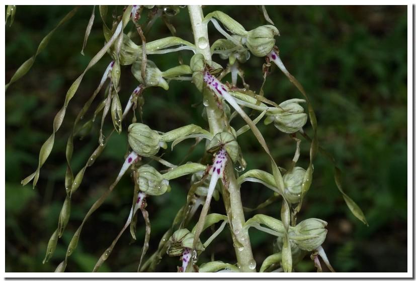 himantoglossum hircinum 16.jpg