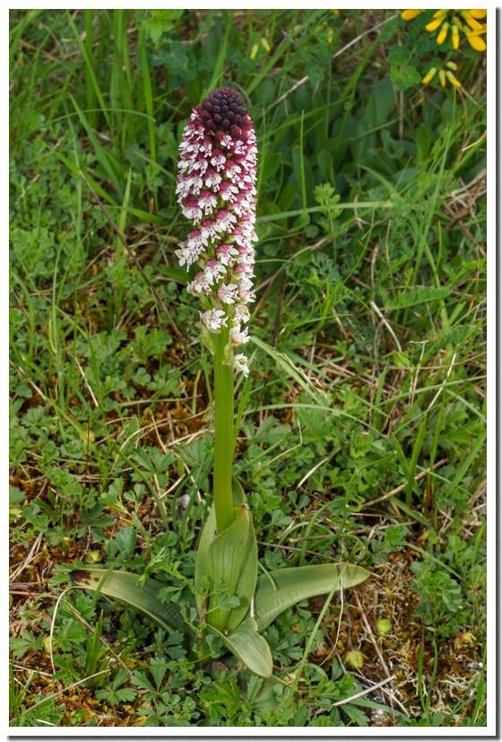orchis brulé 18.jpg