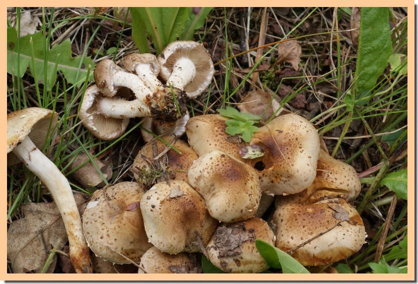 Pholiota gummosa var. rufobrunnea.jpg