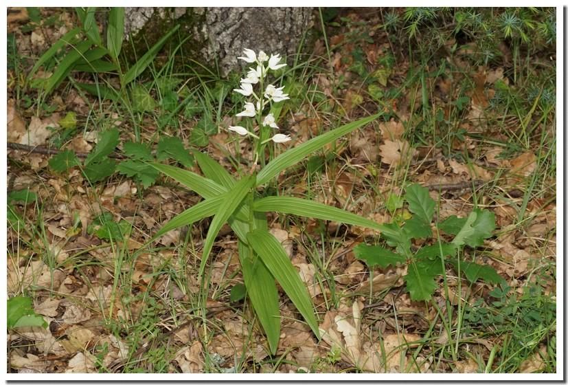 cephalanthera longifolia 18.jpg