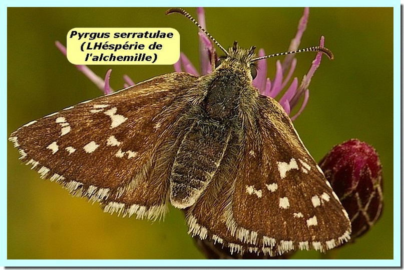 Pyrgus serratulae1a _Hesperie de l_alchimille_.jpg