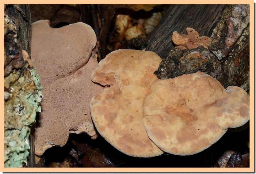 hapalopilus rutilans 15.jpg