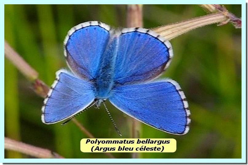 Polyommatus bellargus1d _Argus Bleu Celeste_.jpg