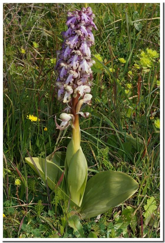 himantoglossum robertianum.jpg