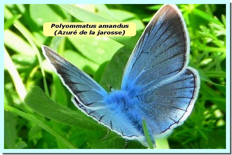Polyommatus amandus1 _Azure de la jarosse_.jpg