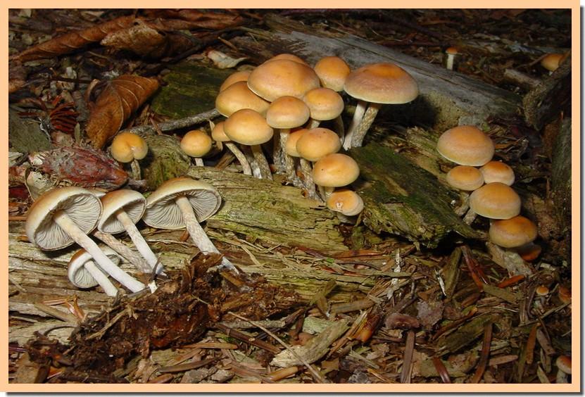 hypholoma marginatum.jpg