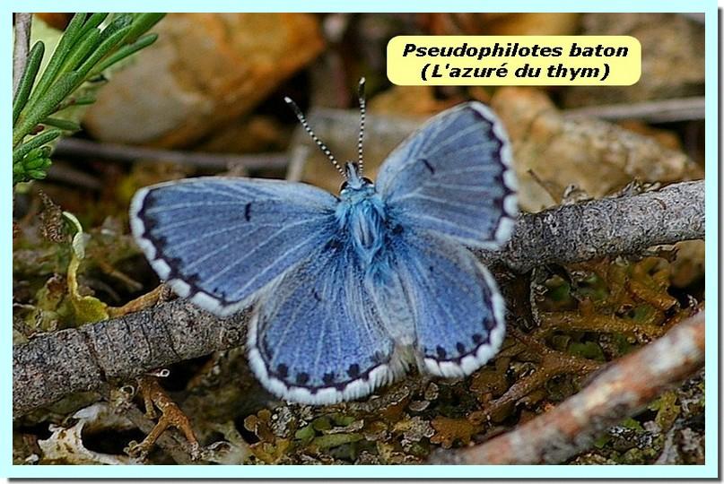 Pseudophilotes baton1 _Azure du thym_.jpg