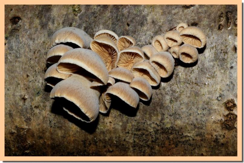tectella patellaris2.jpg