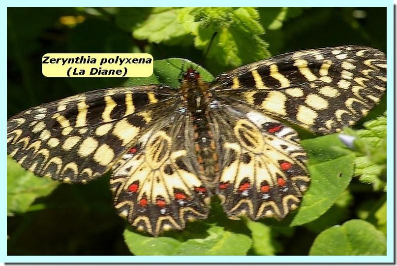 Zerynthia polyxena1b _Diane_.jpg