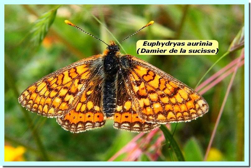 Euphydryas aurinia1 _Damier de la sucisse_.jpg