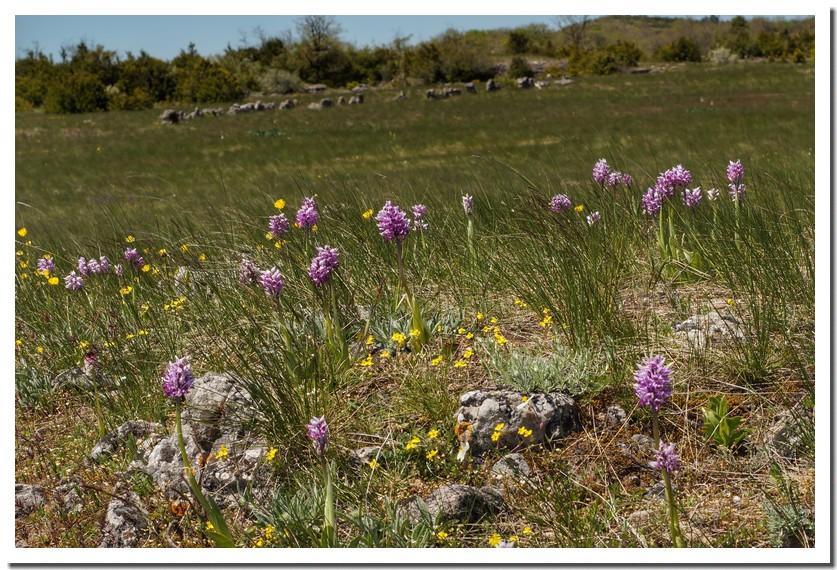 orchis simia  _2_.jpg