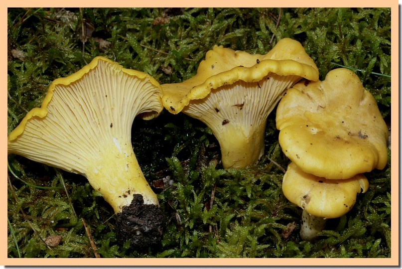 cantharellus cibarius 16.jpg