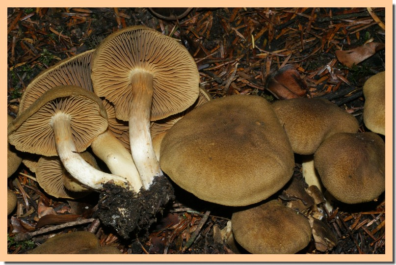 cortinarius melanotus.jpg